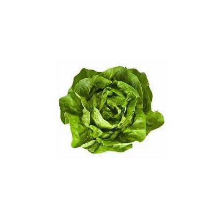 Lattuga Cappuccio verde